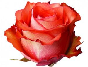 roseiguana