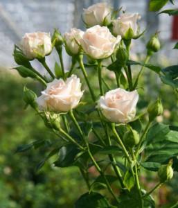 roseyana