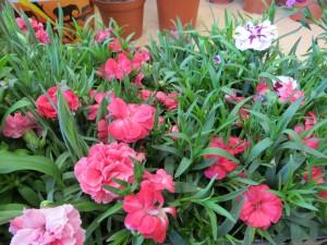гвоздика садовая2