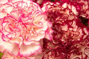 variegated carnation flowers macro natural floral background