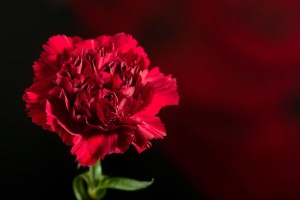 Red carnation on black-red
