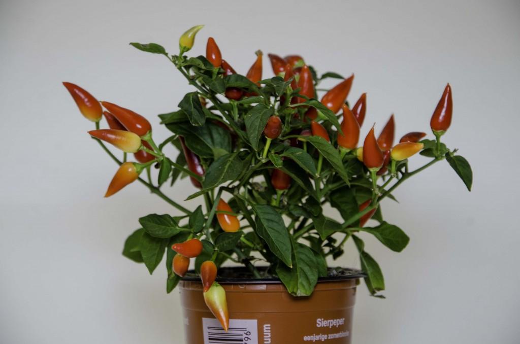 Поставка плодовых горшечных растений