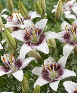 lily-white-pixels