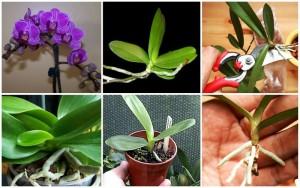 razmnozhenie-orhide2