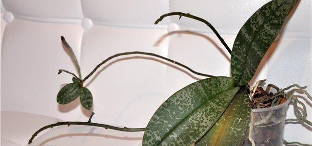 Как правильно размножать орхидею
