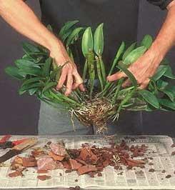 razmnozhenie-orhidei