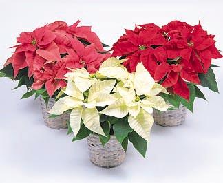 Рождественская звезда — пуансетия
