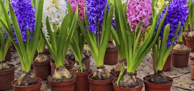 История первых весенних цветов
