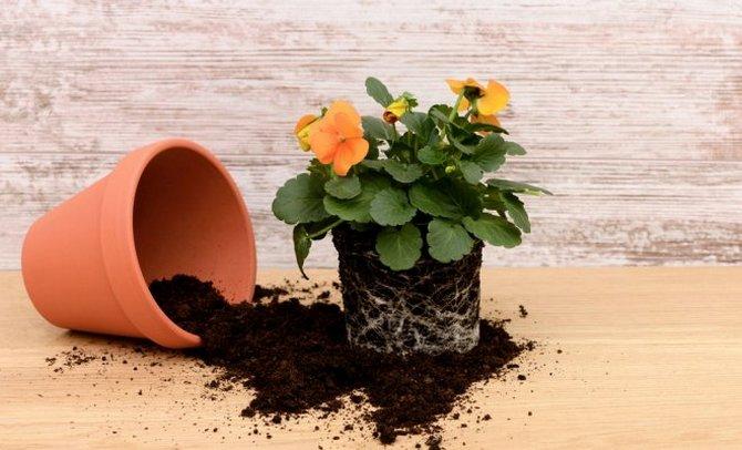 Правильная пересадка комнатных растений