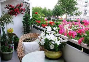 petunia-na-balkone