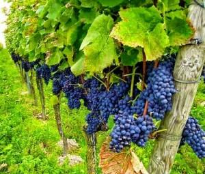 vinograd-ogorodnyi