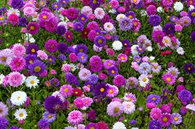 Осенние цветы для клумб