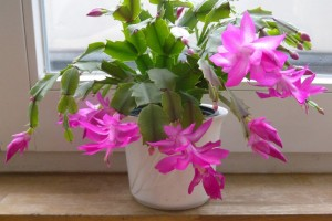 zimovka-cvetov