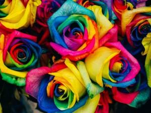 rozy-raznocvetnye